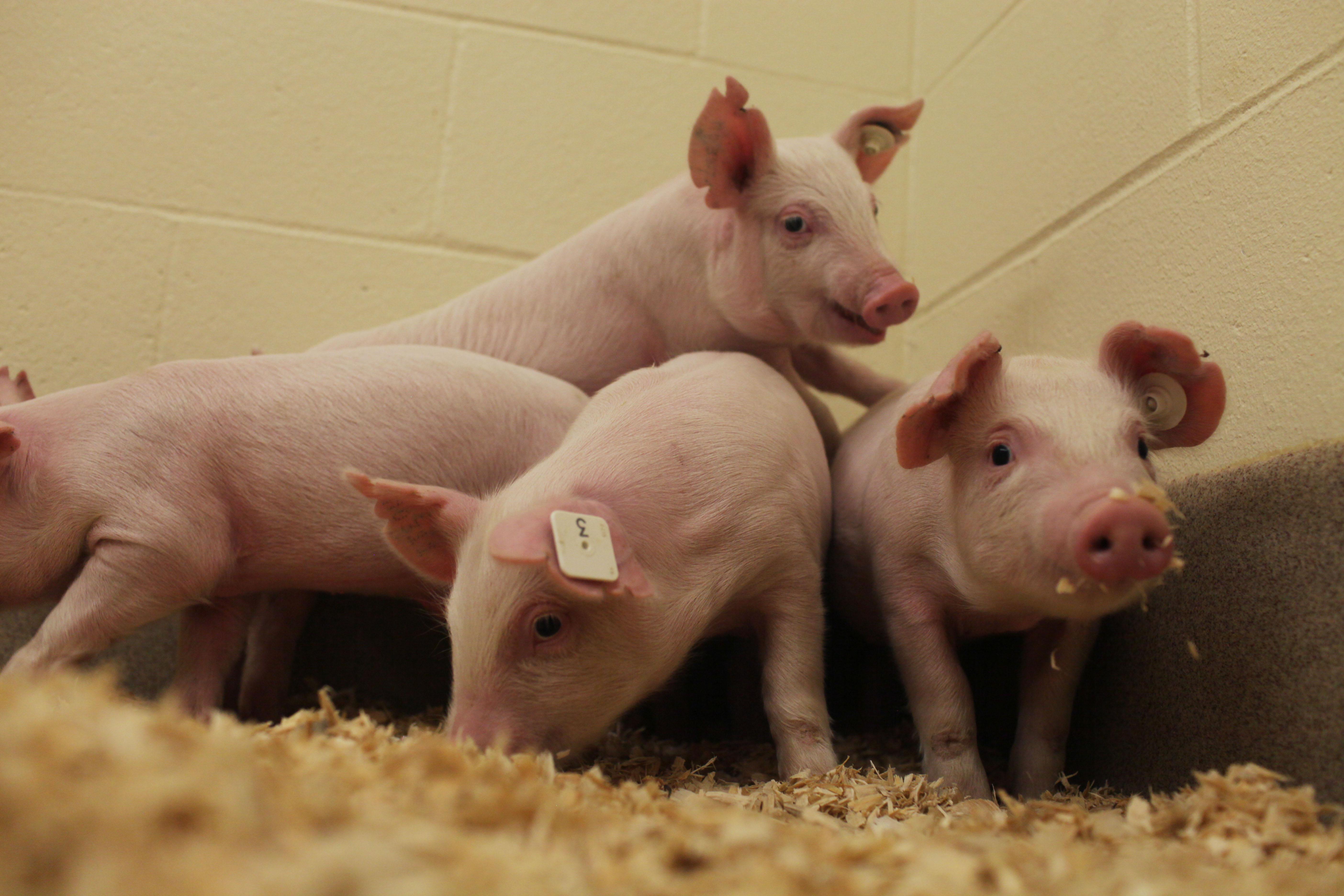 Bild på PRRS-resistenta grisar