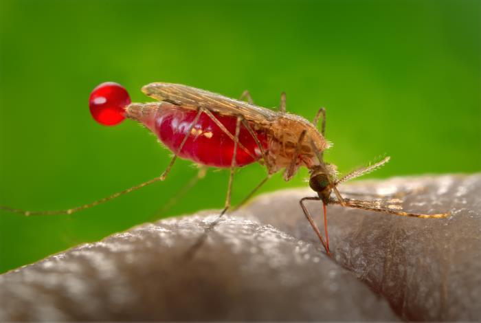 Bild på malariamyggan Anopheles gambiae.