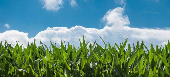 Bild på majsfält