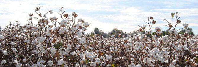 Bild på bomullsfält.
