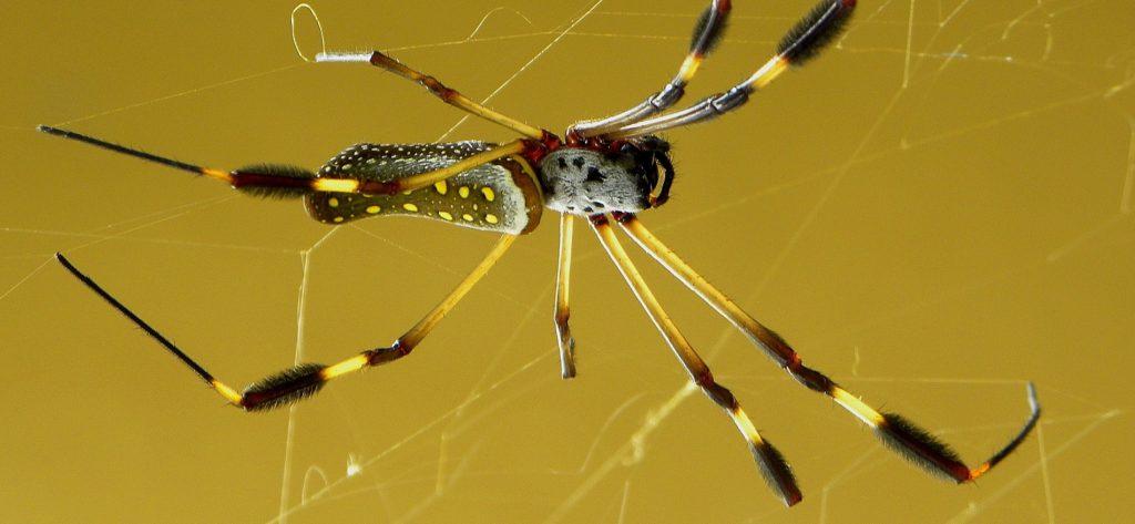 Bild på spindelarten Nephilia clavipes.
