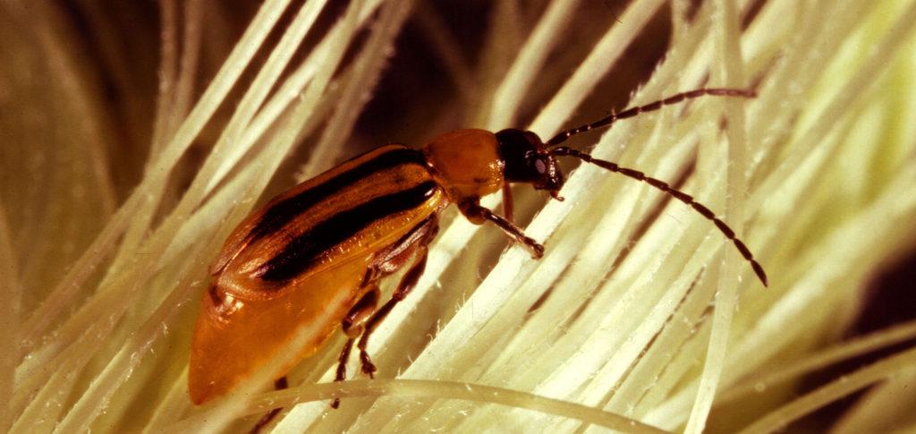 Bild på majsrotbaggen Diabrotica virigifera.
