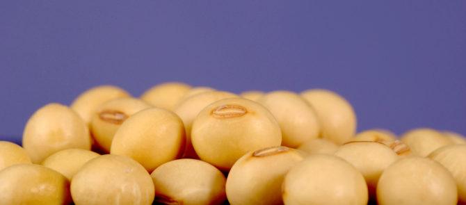 Bild på sojabönor, Glycine max.