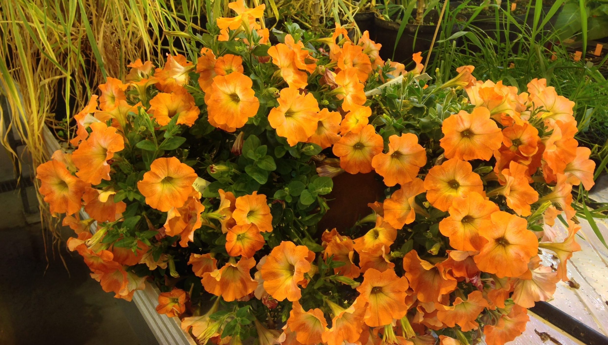 Bild på orangefärgade genetiskt modifierad petunia. Foto: Jens Sundström.