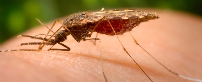 Bild på Hona av myggarten Anopheles albimanus.
