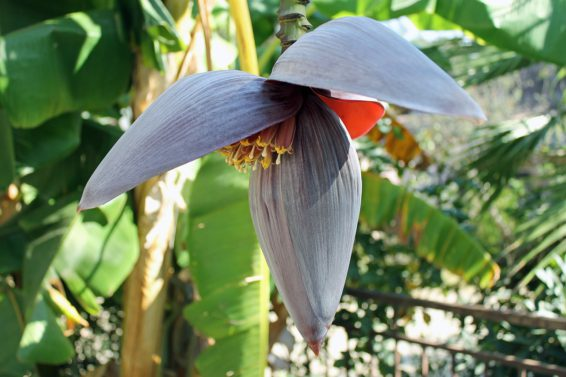 Bild på bananblomma