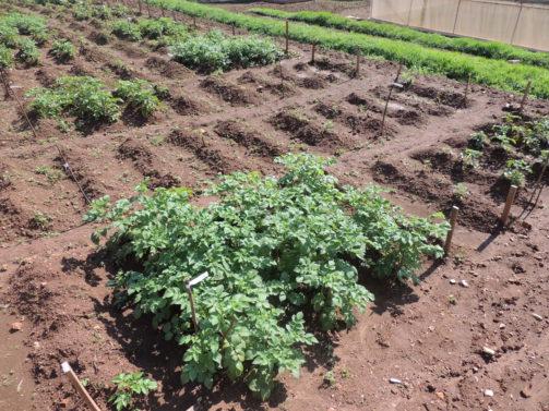 Bild på fältförsök med Phytophtora-resistemnt potatis