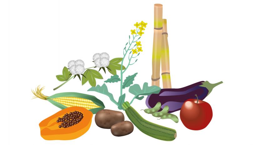 Illustration av olika genetiskt modifierade grödor som odlas, till exempel papaya, äpple och squash. Illustration och copyright: Ginilla Elam.