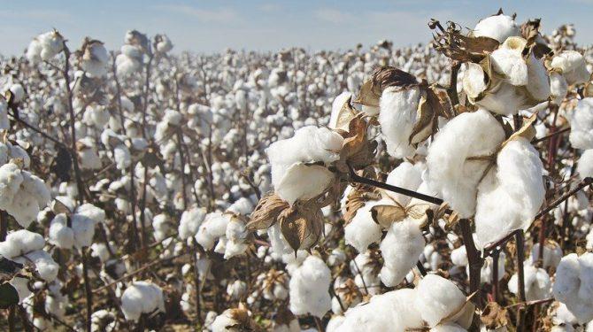 Bild på bomullsfält