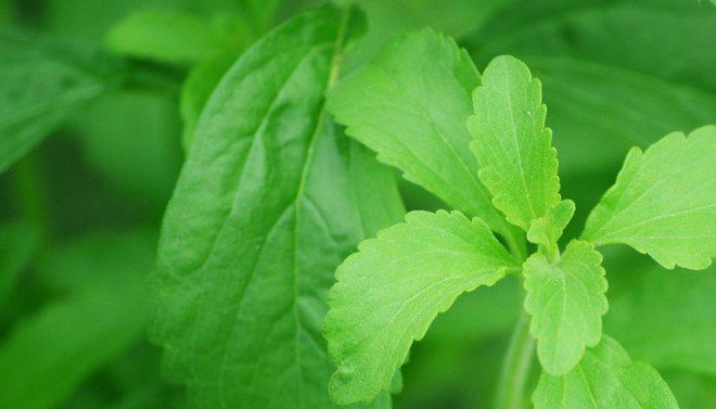 Bild på steviaplanta.