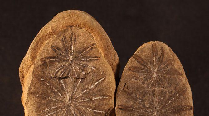 Bild på växtfossil i två stenar