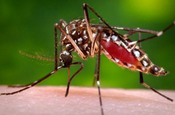 Bild på mygga