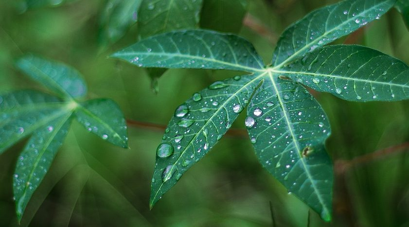 Bild på kassavaplanta