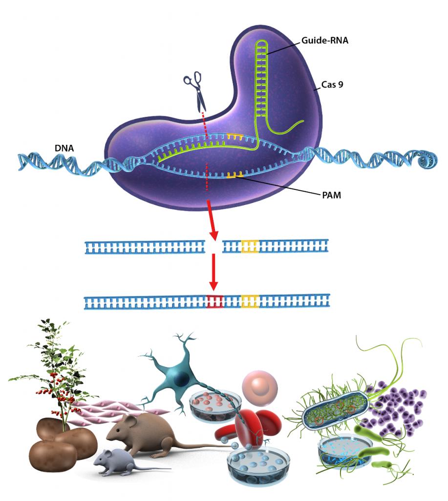 Scematisk illustration över gensaxen CRISPR/Cas9. Illustration och copyright: Gunilla Elam.