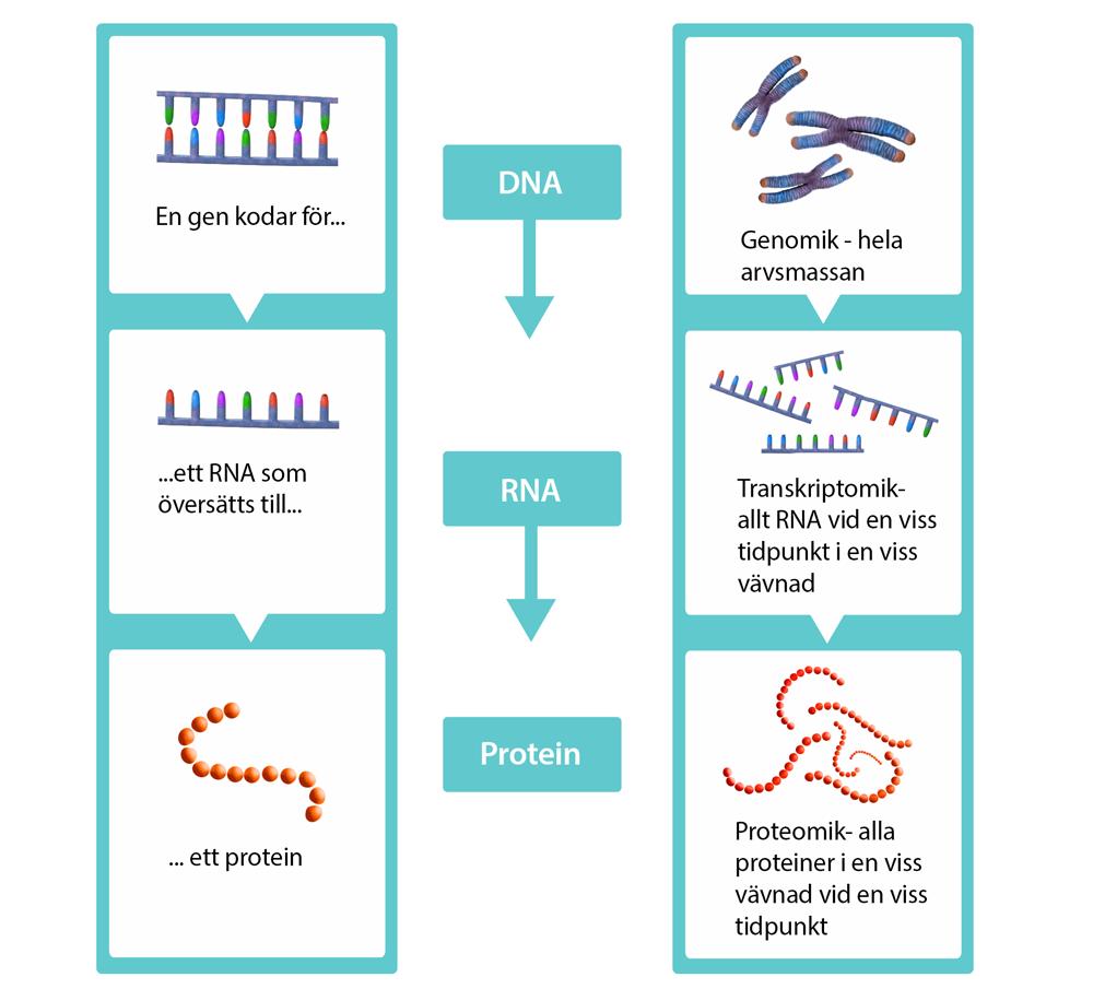 Schematisk bild av hur gener översätts till RNA som översätts till ett protein, och hur Genomik, transkriptomik och proteomik är metoder för att studera dessa steg.
