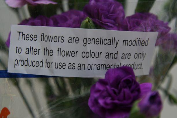Bild på en bukett genetiskt modifierade nejlikor. Foto: Kristofer Vamling