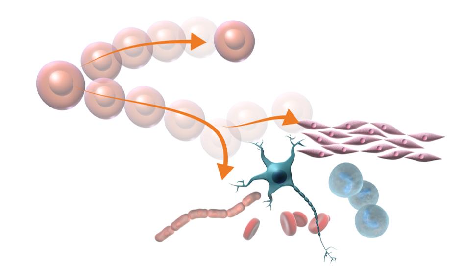 Illustration av hur stamceller kan utvecklas till olika sorters specialicerade celler. Illustration och copyright: Gunilla Elam.