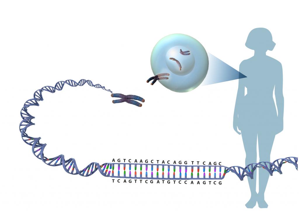 Illustration av en DNA-sekvens som tvinnas samman i en spiral, packas i kromsomer i en cell som härrör från en människa.