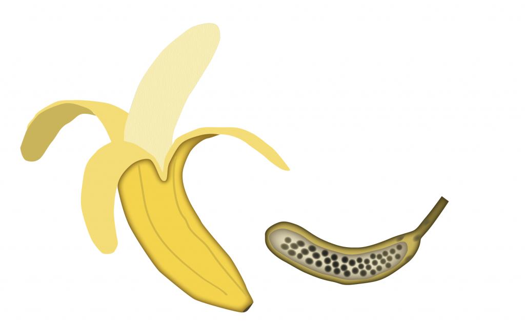 Illustration av banan och dess föregångare. Foto: Gunilla Elam.