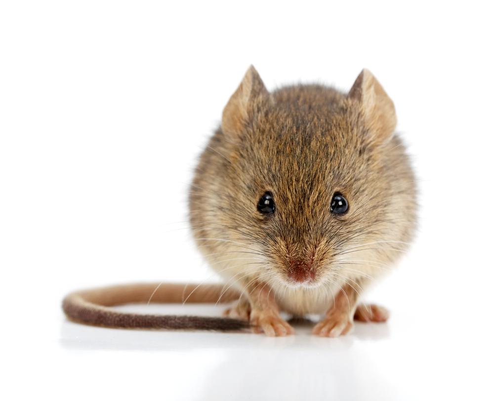 bild av en mus