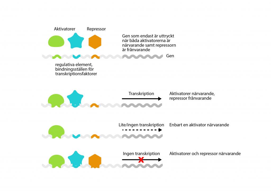 Illustration som exemplifierar hur specifika transkriptionsfaktorer kan fungera.