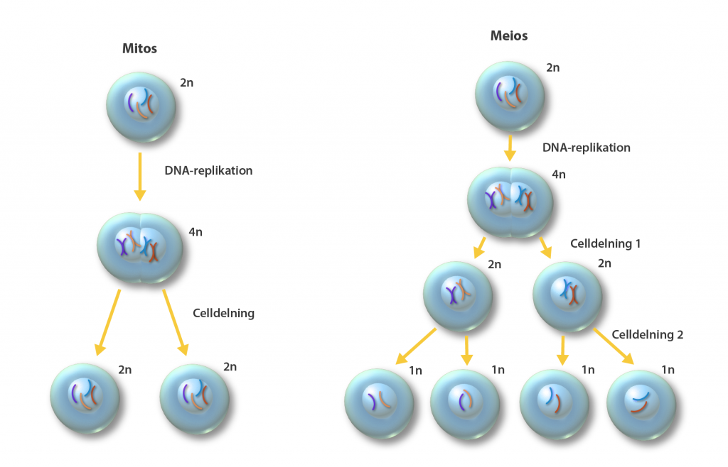Illustration av  de två celldelningsprocesserna hos eukaryota organismer, mitos, för bildandet av somatiska celler, och meios för bildandet av könsceller.