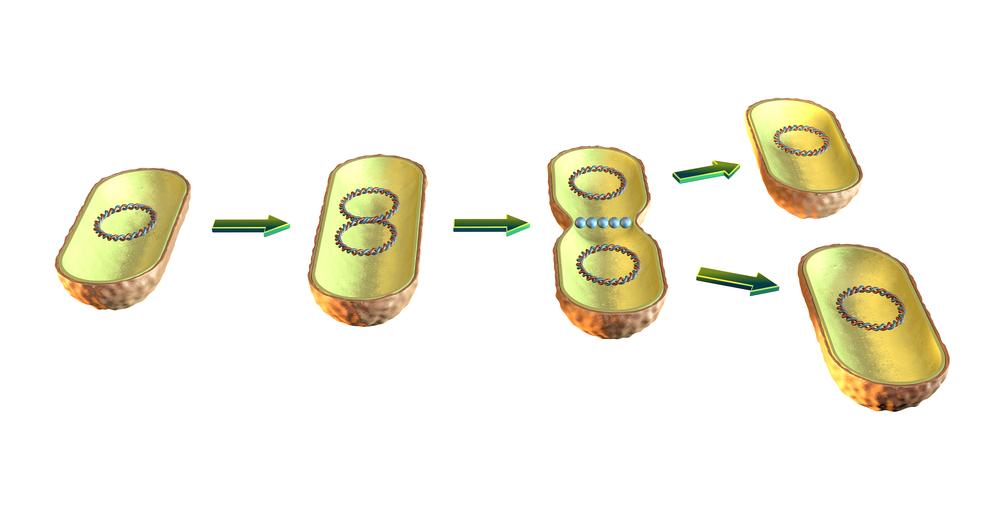 Illustration av hur bakterier delar sig genom binär fission.
