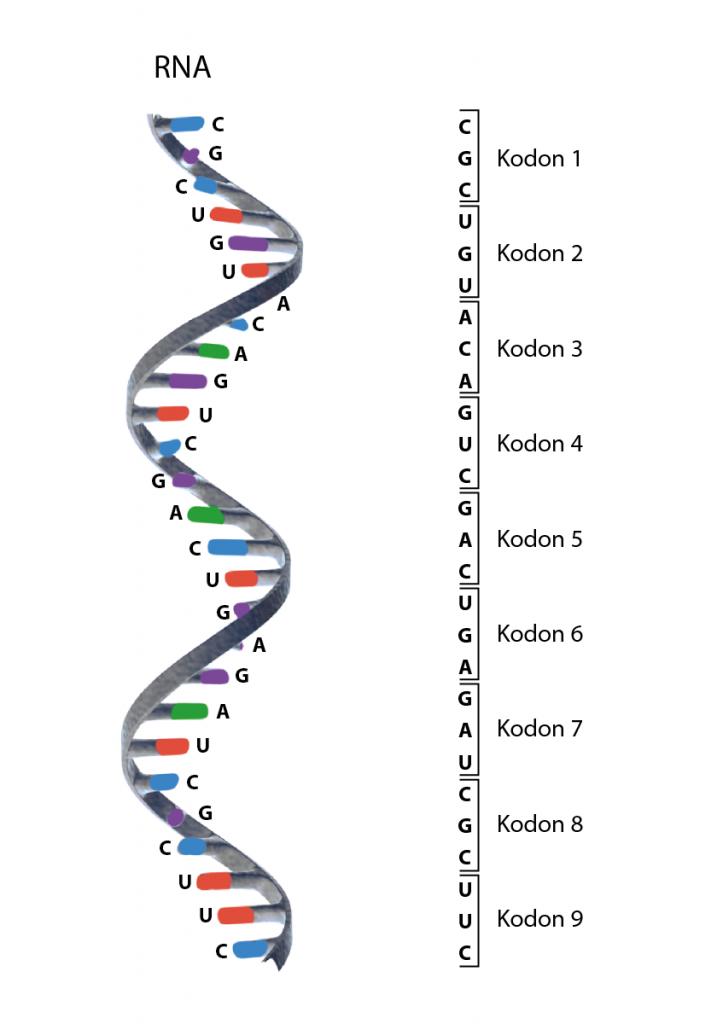 Illustration av RNA och de tripletter av nukleotider som utgör kodon