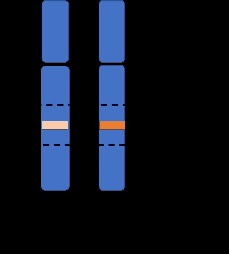 Illustration av ett homologt kromosompar