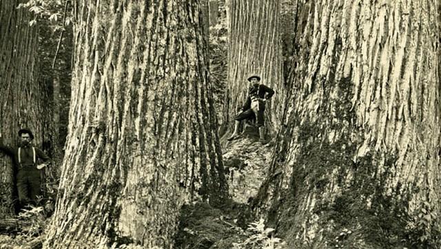 Ett foto av människor vid amerikanska kastanjer under senare delen av 1800-talet. Foto: The American Chestnut Foundation.