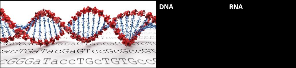 bild och tabell som visar de huvudsakliga skillnaderna mellan RNA och DNA